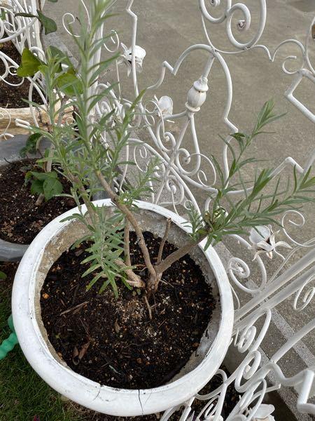 頂き物の苗があるのですが、本人も寄せ植えが成長した物と言うことだけで、なんの植物か分からないようです。 特に香りもしませんが、ローズマリーでしょうか?