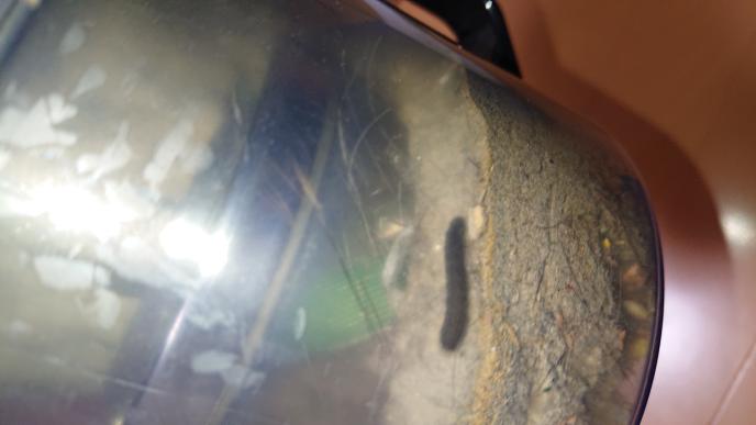 閲覧注意になるのですが、添付の虫の名前を教えていただけると助かります。 出来れば、効く殺虫剤の名前なども教えて下さい!お願いします!
