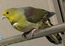 この鳥鳩っぽいけど色が緑で誰か分かりませんか