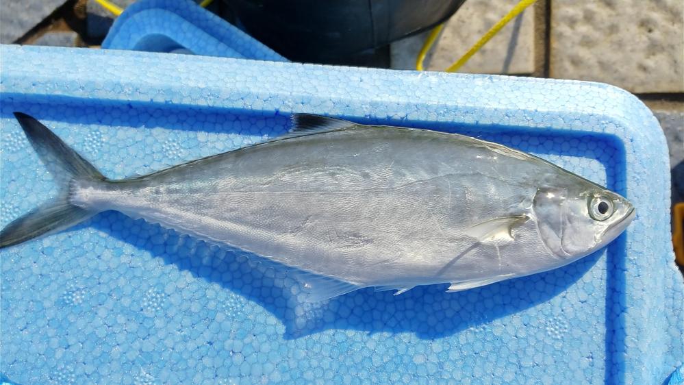 この魚の名前は何でしょうか? 鹿児島の堤防釣りで釣れました。 ウロコはなく、ヒイラギのようなヌメリがありました。