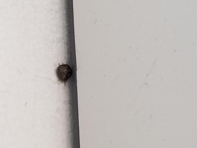 この丸くて小さな黒い虫(爪に載るサイズ)なのですが、昨日からベランダへ大量にいるのでかなり困っています。動きは鈍いようですが、音もなく飛ぶので外に洗濯物を干すのが億劫になります…。 この虫は何な...