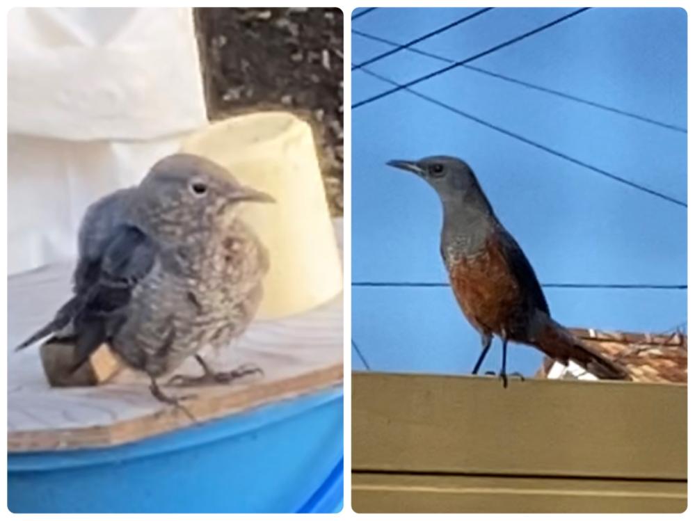 これは何て名前の鳥ですか?(左) とても可愛い鳴き声をしていました。 それにつられて近づいてきた鳥(右)がいたのですが、同じ種類のオスとメスなのでしょうか?