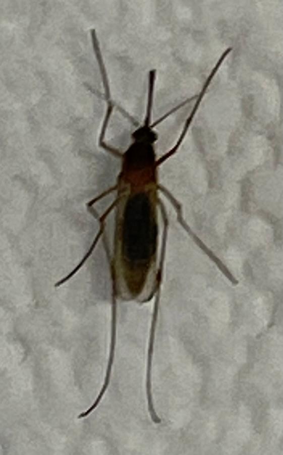 この虫はアカイエカですか?寝てる時に指の先と肩を刺されていたのですが痒みはありません。指の先は押すと痺れる感じの軽い痛みがあります。この虫を潰したところ赤い血が出てきました。