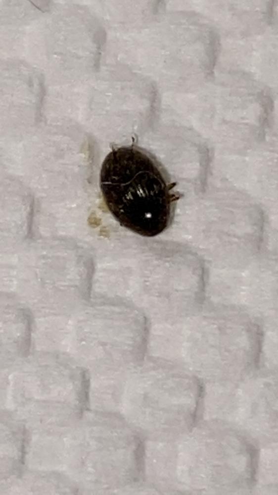 この虫何かわかる方いたら教えて下さい。 写真はルーペで拡大したものです。