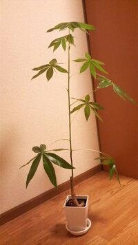 観葉植物(パキラ?)について… 5月に買った観葉植物なんですが、全長30センチ程あったのが2ヶ月で80センチ程になってしまいました(^^;  購入時は幹か ら緑の茎?がすっと生えて葉が4~5枚ついていて、小ぶりで可愛...