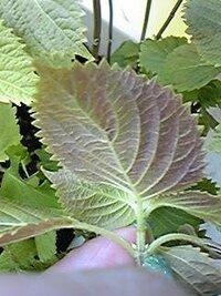 大葉の裏側が黒く(赤黒い)なっているのですが、食べれるのでしょうか? 大葉の裏側が赤黒い感じになっているのですが(斑点ではなく葉裏全体) 通常通り食べることができますか?初めて家庭栽培していて、一部そのような ものが増えてきました。表面は普通にきれいな緑色です。初めのころは 葉の成長も早く、普通の大葉が多かったのですが、とってまた育ててるうちに このような葉が増えてきたようです。(葉...