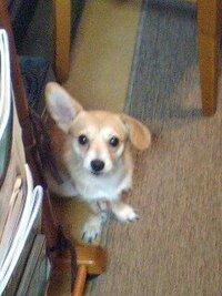 ダックスフンド うちの愛犬は血統書的にはカニンヘンダックスフンドで1歳4ヶ月になるのですが耳が短くて立っているんです。足も長くジャンプ力もすごいんです。もう1匹カニンヘンダックスを飼っているのですが...