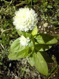 この花はなんだかわかる方いますか? ワイルドフラワーMIX(白)系の種子から芽吹いたもの(?)かな?と思っています ずいぶん適当に蒔いてしまい、どれが雑草やらなにやらわからず、一応とっておいた物に花がつきました  花の直径は2.5cm位で、開花してから随分たちますが、変化がないまま咲き続けています  ただ頂き物の不明種子も同じ辺りにぱらぱらしているので「ワイルドフラワーMIX」系なのかは正直...