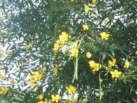 この黄色い花と細長い実をつけたマメ科の木はなんでしょう
