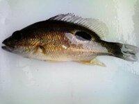 河口でウナギ捕りの仕掛けに入った魚の名前を教えてください たまにウナギ捕獲筒に入っています。東シナ海の河口です。