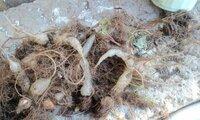 四つ葉の球根に大根のような根っこがありますが、あまりにも白く透明感ががあります。時期が早かったのかしら? カタバミ科のラッキークローバーです。  たまたま、本日球根をあげてみました。  驚く事に透明...