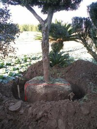マキの木の移動のことなのです マキの木を移動させたいのですが根はどのくらいの深さでどのくらいの径を残せばいいのですか? 後、根巻きは麻と縄でよろしいのでしょうか? 解答宜しくお願いします。