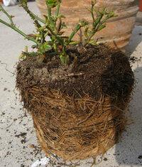 ミニバラの植え替えについて質問です。 1つの鉢に小さい苗が4本挿し木してあります。 大き目の鉢に植え替えたいのですが、根がすごくてどうしたらいいか分かりません。 どうしたら良いでしょうか?教えて下さい。