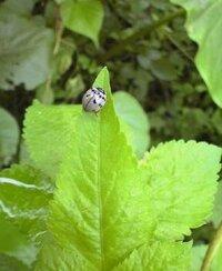 """この""""白いてんとう虫""""の名前を教えて下さい。 今日、同じ場所で白いてんとう虫を3匹も発見しました! この白いてんとう虫は何という種類で、どんな植物を好むのでしょうか?"""
