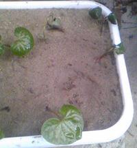 双葉葵(植物)を育てていて元気なくヒョロけています… インターネットで双葉葵を調査してみた結果が下記です 【インターネット調査結果】 学名:Asarum caulescens 別名:カモアオイ(賀茂葵) 花期:春 山地の林下に生える多年草で,茎の先端に葉を2 枚対生する。 卵針形の葉が特徴的で, 徳川家の紋所の「葵の御紋」はこの葉を表したもの 別名のカモアオイは,賀茂神社の葵...