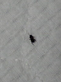 夏によく見かけるこの小さい黒い虫ってなんなのでしょうか  触角が目立ちます。 飛ばないと思います。  今日気がついたら四匹ぐらい見かけまし た。  この虫の対処法などありましたら教えてください。  この虫は身体に害はないでしょうか