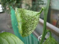 ミカンの実が全部落ちてしまいました よくよく見ると葉っぱ全体に、写真のような小さい虫がたくさんついています。 この虫はなんという虫かお分かりになる方がいらしたら教えていただけないでしょうか? アブラ...