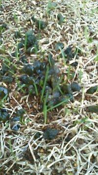 芝生の育成をしていますが、雨の後など海藻のような黒緑色のプニョプニョの物体が現れます。これはどういうものですか?駆除するにはどうすればいいですか?