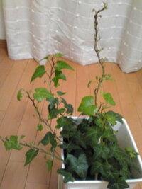 アイビーの葉っぱが大きくならない  1年前からアイビーを育てています。水さしから始め、今は鉢に植えかえてリビングに置いています。よく成長 している枝は、最近新しく、小さな葉っぱがつきはじめましたが、どの葉っぱも大きくならず、枯れてぽろぽろ落ちてしまいます。もともとある、下の方の葉っぱはいたって元気です。なぜ小さな葉っぱは育たないのでしょうか?水やりは、土が乾いたらたっぷり、カーテン越しの光に...