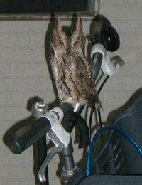 コノハズク 1週間ほど前に私が住んでるアパートに 止まっていた鳥です  なんていう鳥でしょうか?   コノハズクか、ミミズクか、 具体的に教えていただきたいです