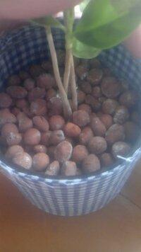 ハイドロカルチャー これはカビ!?   2か月くらい前に無印良品で買ったコーヒーの木のハイドロボールにカビのような白い小さな粒々がありました 。 また、去年から育てていたサンセベリアのスタッキーにもあります。   こいつはカビなんでしょうか? また、今の時期にボールを変えてもいいんでしょうか?