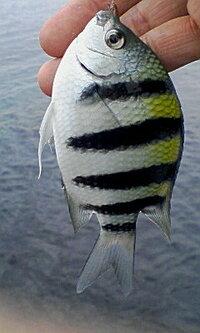 海釣りで釣りました。  初見の為、名前がわかりません。  ご存知の方、宜しくお願い致します(^-^)