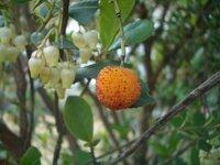 この樹の名前を教えてください。 庭木ですが、アセビに良く似た花がついてます。 葉っぱも煮ておりますが、少し幅広く大きめです。 それにヤマモモのような実がポツポツ付いておりました。