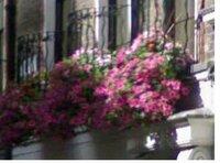 ロンドンを旅行しました。窓に赤い花が植わっています。 ①主に 何の花でしょうか?  ②水やりは ホースのさきに 塩ビパイプで 朝5時半ころしていました。  ③植木鉢の固定の仕方はどんなやり方でしょうか?  よろしくお願いします。  写真は インターネットから探しました。  私の見たのもこれでした。