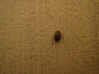 ゴマみたいな虫 たまにゴマくらいのサイズの虫が出で気持ち悪いのですが何だかわかる方いますでしょうか?