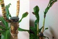 幸福の木(ドラセナマッサン)の幹にカビ。 幸福の木を育てて3年目になります。 今年の冬から葉が枯れていき、今はほとんど葉がないような状態です。 (写真右のように1枚ずつ葉は残っていますが、中から生え...