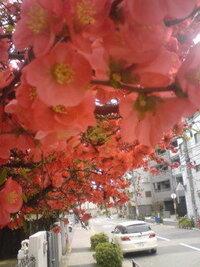 4月7日に桜を見ようと文京区小石川に行った時、播磨坂付近の民家にきれいな赤い花がありました。樹高は2m位で、枝はつる性ではないです。このお花の名前を教えて下さい。