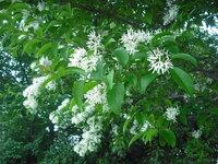 今日、センダンの花によく似た白い 花の咲いた街路樹を見かけました。 葉っぱの形がセンダンとは違うようですし、 時期も少し早いようなんですが (ここは福岡です) この花の名前は何ですか?