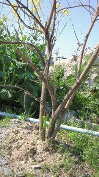 鬼柚子の剪定について。   去年の秋に知人から鬼柚子をいただいて植えたんですが、枯れてしまったようになってしまいました。 つい最近まで枯れ たと思っていたのですが、地面に近い太いもとの幹から新芽が出ていました。 良かった!生きてた!と安心したんですが、この上の枯れたような枝の部分はどこまで切ってもいいのでしょうか??? 切らない方がいいですか?一本短めに折ってみたら、すかすかになっていました...