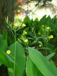 この黄色い花の雑草の名前をご存じの方いらっしゃいますか? 本日(5月21日)撮影したものです