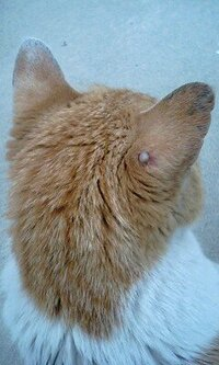 猫の耳にいぼのようなものができています 以前家を新築する際に、仮住まいさせていただいた家の猫(おそらく15歳より上のおばあちゃんです)の耳にイボのようなものができていました。 最近になってだんだん大きくなってきていて、イボらしきもののまわりの毛が抜けてきています。 これってなんでしょうか?画像を添付しておきます。