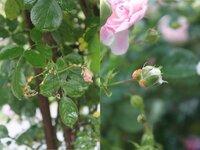 このバラを見てください(病気?) 写真のようにつぼみや葉にオレンジ色の塊みたいのがついています。 病気でしょうか? 虫の糞でしょうか? 初心者なので分かりません。 詳しい方教えてください。 よろしくお願いします。
