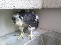 我が家のベランダに迷い込んだ鳥です。 どなたか、なんていう鳥か、危険はないか、どんなものを食べるのかなど教えてください。 けがをしているようです。
