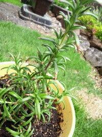 ローズマリーの先端だけ枯れてきた。 閲覧ありがとうございます。 苗を2ヶ月程前に購入し鉢に移し育てていましたが、1週間程前から葉っぱの先 だけが茶色く枯れてきました。 <詳細> ・水は土が乾燥したらたっぷりあげる感じで水を上げすぎたという事はありません ・土地柄乾燥地帯で風通しも良く過湿ではないと思います。 ・日当たりも良いです。 ・土はハーブ用を使用 ・植え替えの際は根を傷付けないように気...