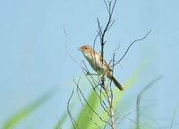 セッカ・・・? オオセッカ・・・? 千葉県 利根川河川敷の鳥の名前の公園にて・・・ セッカなのか オオセッカなのかわかりません。 わかる方がいらっしゃったら教えて下さい<(_ _)>