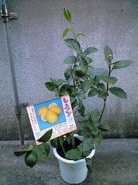 レモンの鉢をホームセンターで購入しました。品種はリスボンです。 ポリポットごと鉢に入っているので、植え替えをしようと思います。 このままの鉢で良いのか、少し大きめの鉢に植え替えた方が良いのでしょうか? また、植え替え時期は、いつ頃が良いでしょうか? 今のところ実が2個付いています。 今後、育てることで気をつけた方が良いことはありますか? レモンを育てるのは、初めてです。 宜しくお...