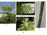 添付写真の植物名を知りたいのですが、ご教授願います。  写真は; ①、斜め下から見上げたモノ ②、葉とそのつき方 ③、茎で鋭いトゲがあります。 ④、上と同じ種類ですが(若干小さいモノ)、上から見た写真で...