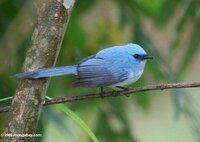 青い鳥の画像を見ていたらあったのですが、この鳥さんがとても気になります。名前などわかる方いらっしゃいますか?よろしくお願いします☆
