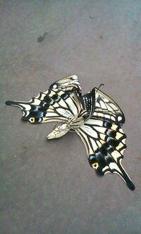 アゲハ蝶が羽化に失敗し羽が折れ曲がってしまい飛び立てずにいます。 ベランダで栽培しているゆずの木にいた青虫がさなぎになり、昨夜羽化したようです。早朝ベランダにいるアゲハ蝶をみつけましたが、本来枝に捕まり、羽を乾かして飛び立っていくかと思いますが、うちのアゲハは羽を乾かないうちに床に落ちてしまい、羽がおれまがった状態で乾いてしまい、どうやら飛べないようなのです。 折れ曲がった羽をもとに戻して...