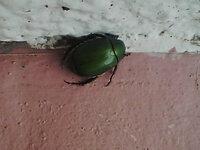 この虫の駆除法を教えてください。 マンションに住んでいます。 ベランダの花壇にプランターを置いて花を植えてますが、写真の虫が葉を食べます。 食べられた葉には文字通り虫食いの穴が何ヶ所も開いて、黒い小さな糞も残していきます。 (花壇とかに限らず、マンションの通路とかにも何匹もいたりします。) 大きさは体長1.5cm~2cmくらいです。  何という名前の虫なんでしょうか? どういっ...