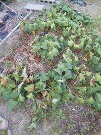 1週間ほど前からサツマイモの葉が次々と枯れていきます。 原因と対処方法を教えてください。