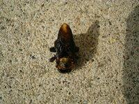 ハチに詳しい方、教えてください。  黒いハチです。 家の素材の木が1円玉くらいの大きさで穴を開けられました。 たぶん、その黒いハチがやったのだと思います。 何というハチか分かりますか? あと、どういう...