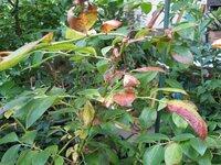 ノーザンハイブッシュ系ブルーベリーです。 写真のようになってしまいました。 新梢は枯れるし、葉も茶色。 5年生苗木で鉢植えです。 対処法を教えて下さい。 枯れた芽は切った方がいいのでしょうか? 他に...
