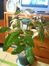 パキラが葉焼けしてしまいました。 涼しくなったので二日ばかりベランダに出しておいたところパキラが葉焼けしてしまいました。 この葉は切ってしまうべきでしょうか?この植物に対するケアはどうしたらよいでしょうか?