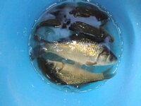 フナ釣りにハマってしまいました 近くの田んぼの用水路【水深約40センチ】 面白い程釣れるのですが フナ釣りはいつまでが、ピークですか?