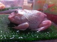 クランウェルツノガエルの異常変色について。 昨年11月初旬に3㎝の体長のペパーミントを購入しましたが、昨年12月初旬頃から色合いが緑→緑青→白と変化しました。 何かの病気かと思い心配しております。 画像を添付しますので...